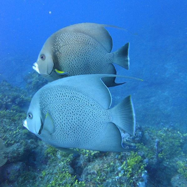 Zwei platte Fische im Ozean